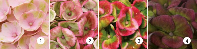 ©Magical Four Seasons, Revolution rose, changement de couleurs